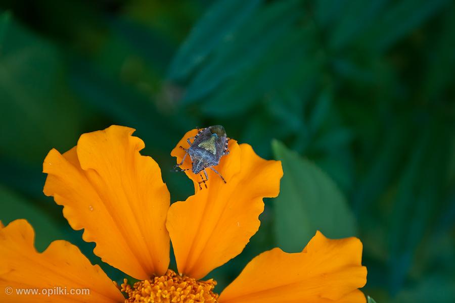 Жук и цветок