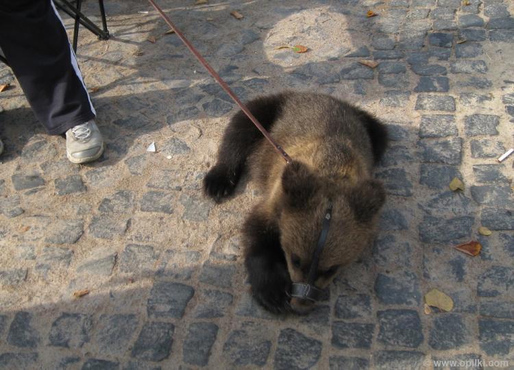 Все питерцы ходят с медведями, но трезвые, без балалайки и без ушанки