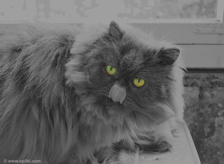 Кот раз